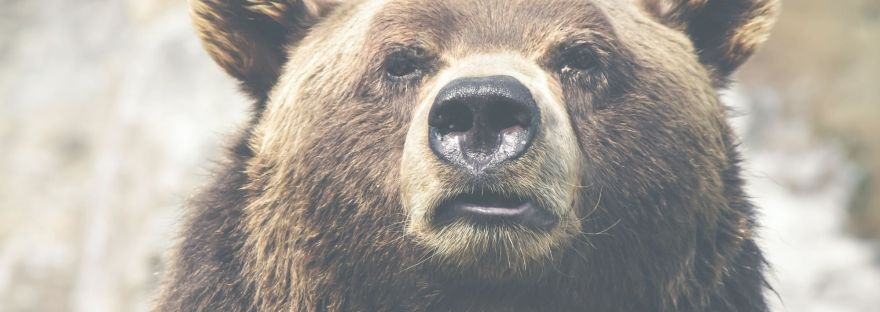 picture of female bear looking into the camera